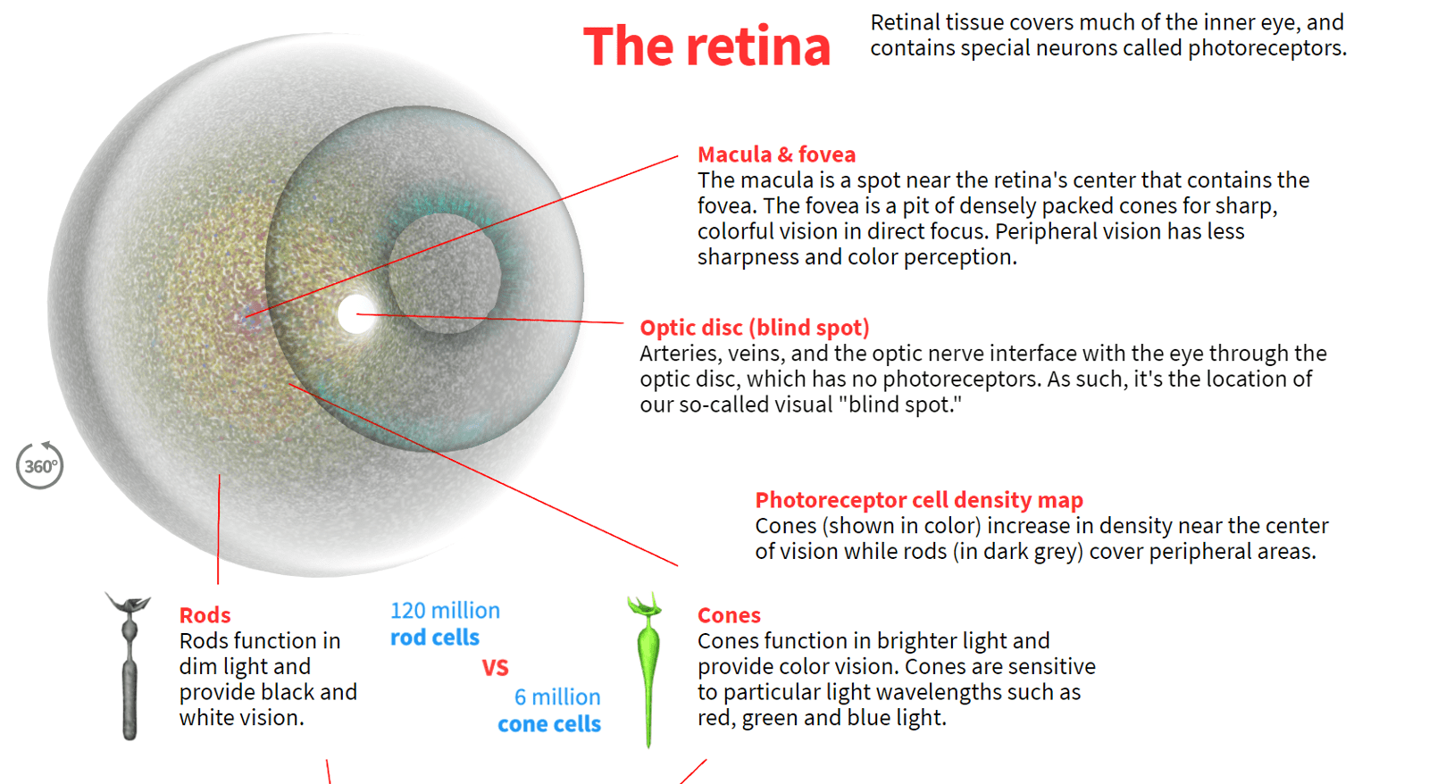 hight resolution of how the human eye works preview