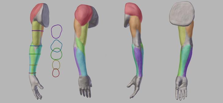 anatomy_arm