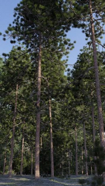 carl-roe-ponderosapinerendernewlightcomp
