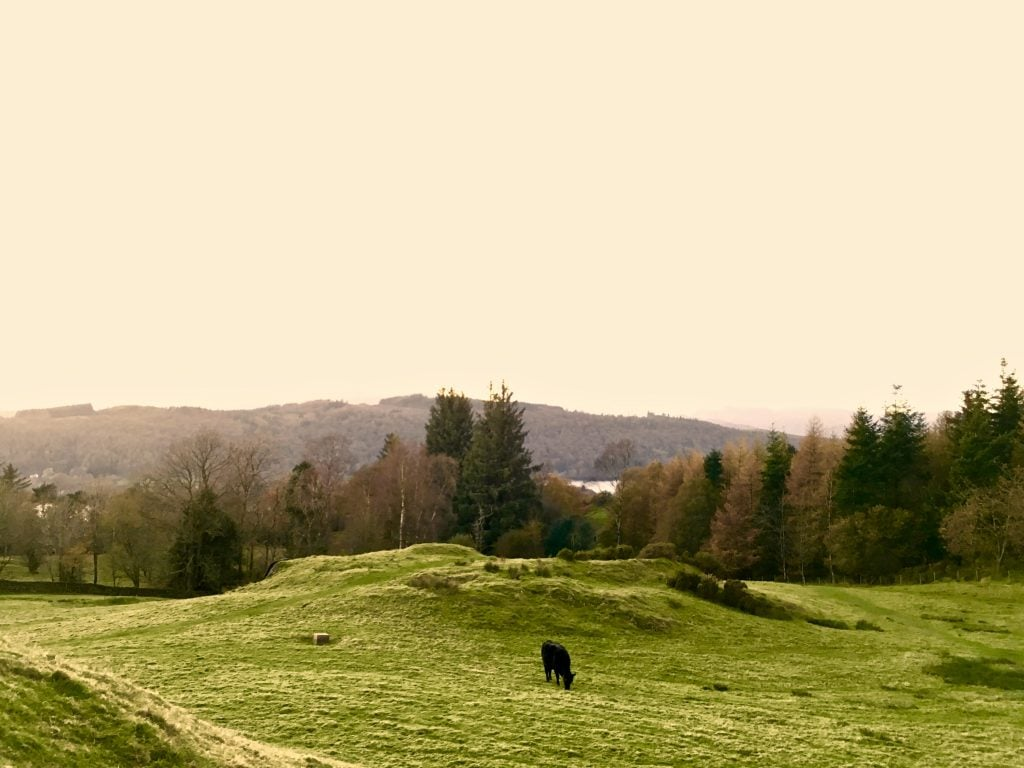 Cows graze near Blenheim Lodge, Bowness
