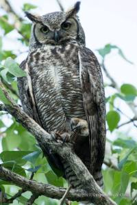 Great-horned Owl close up