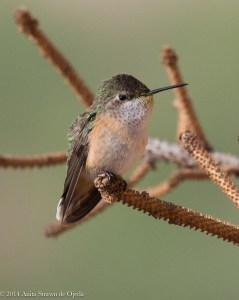 Female Calliope Hummingbird