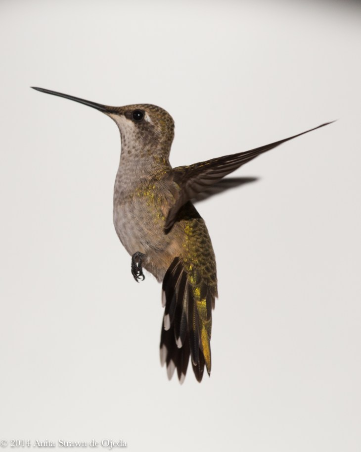 Female Black-chinned Hummingbird