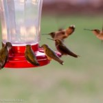 Room at the Feeder for Every Hummer