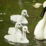Learn About Caregiving From an Injured Swan