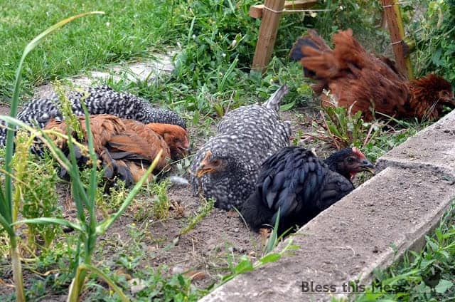 Several chickens bathing in the mud outdoors