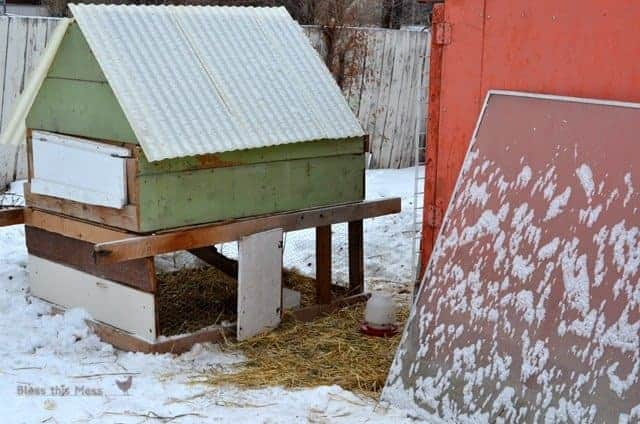 Backyard Chickens in the Snow