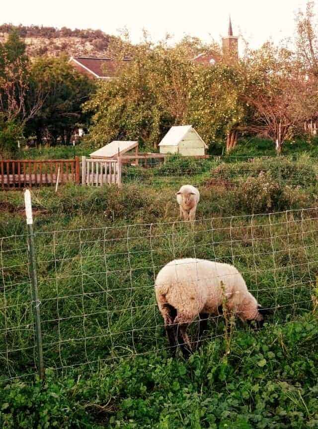 apples and lambs