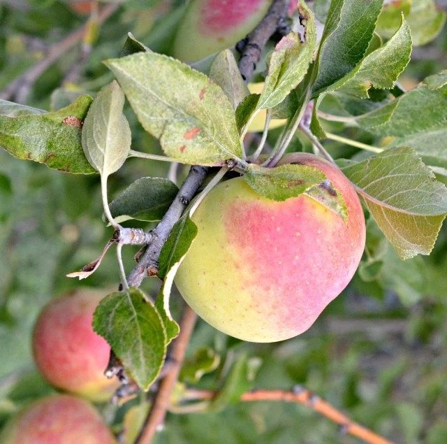 Image of Homegrown Apples
