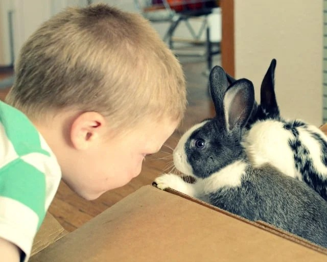 A little boy looking at two black and white rabbits in a cardboard box