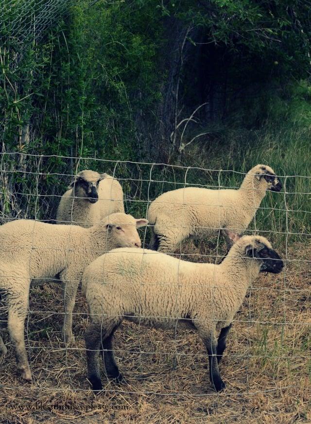hobby farm lambs