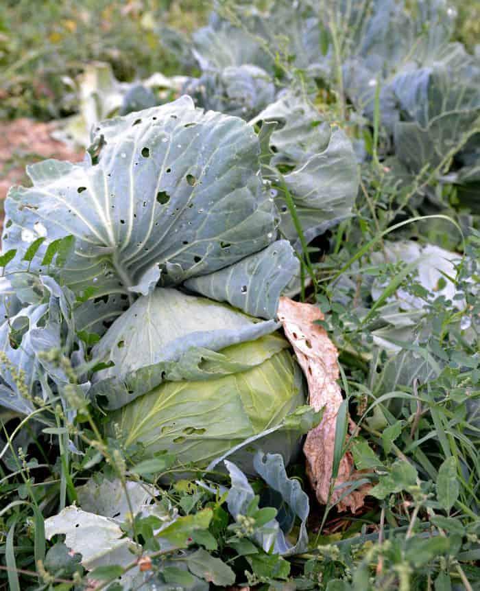 farm cabbage