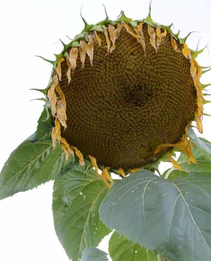 farm sunflower