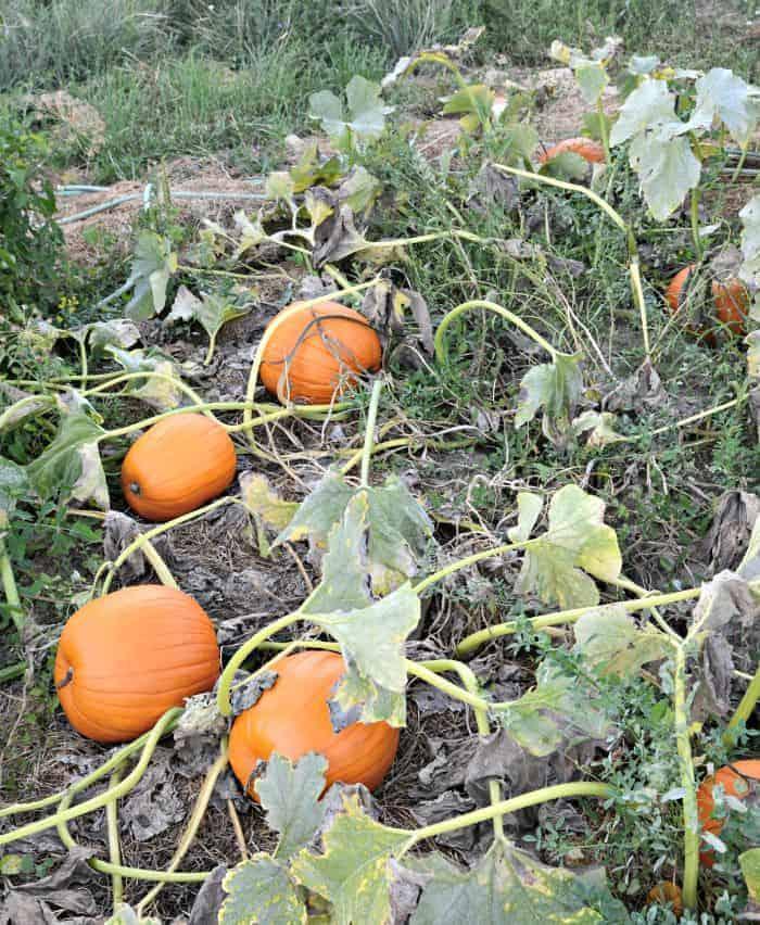 farm5 pumpkins
