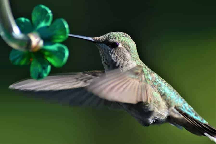 Attract beautiful hummingbirds to your backyard or garden with this simple homemade hummingbird food recipe!