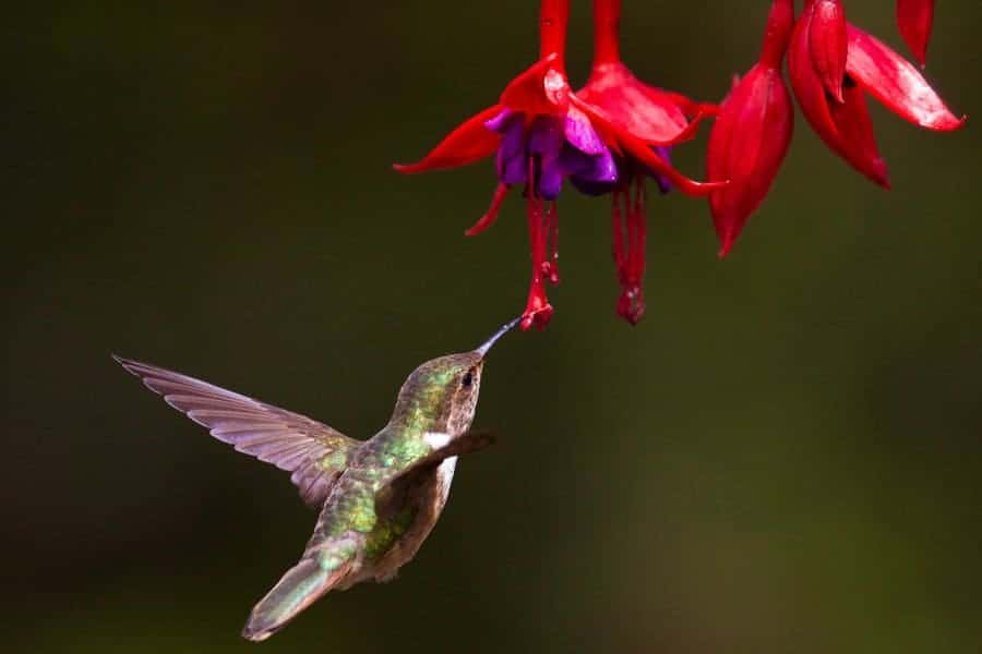 Get to know the most common hummingbirds in North America to better spot which species make a pitstop in your yard! #hummingbirds #hummingbirdfacts #hummingbirdspecies #birdwatching
