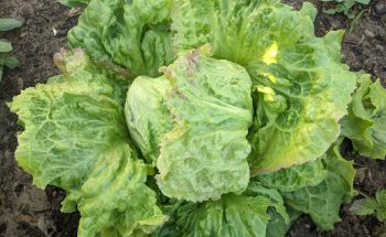 picture of a head of lettuce growing