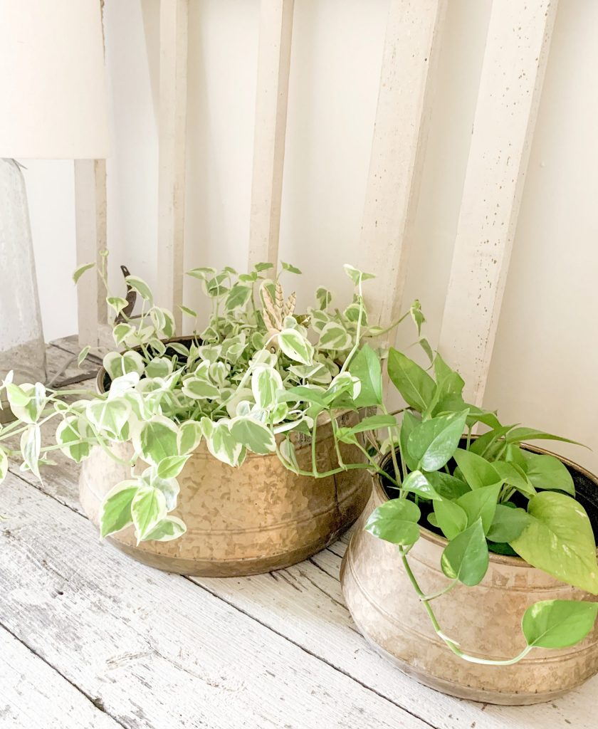 2 plants on table in brass pots.