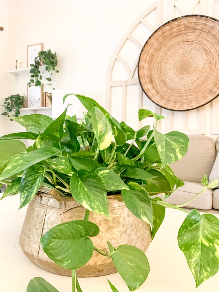 golden pothos in large brass pot