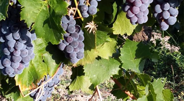 vignes avant la vendange