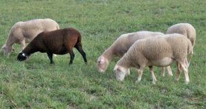 l'agneau de Sisteron a une AOP