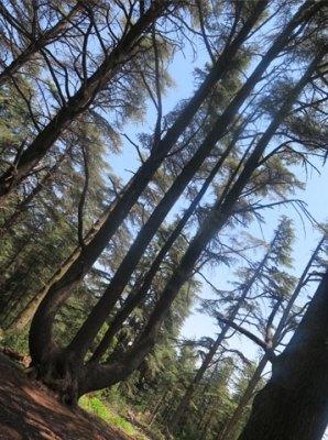 le cèdre-lyre, originalité de la forêt de cèdres de Bonnieux