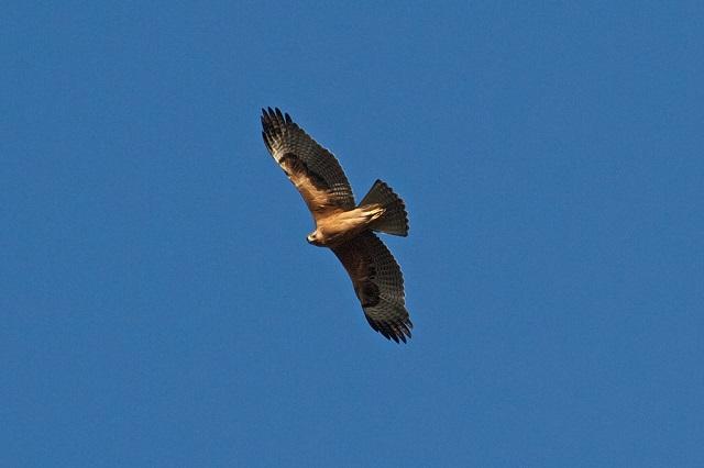 l'Aigle de Bonelli présent dans les Alpilles