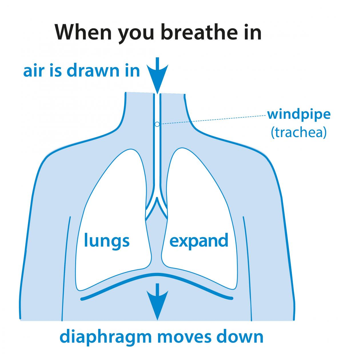medium resolution of healthy lung tissue is springy and elastic so your muscles need to work to expand your chest and draw air into your lungs