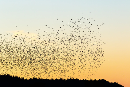 image of a flock of birds flying together in a coordinated way