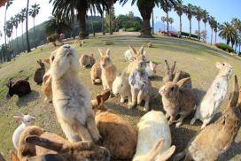 可愛兔子圍著你團團轉! 日本大久野島觀光資訊