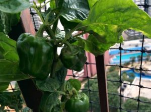 Organic Green Pepper, Balcony Gardening, Produce of the day, Organic Herbs & Vegetables