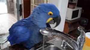 VIDEO YouTube Iris il pappagallo che si fa la doccia da solo  Blitz quotidiano