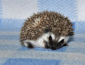Blizzard Baby Hedgehogs Hedgehog Babies And Supplies