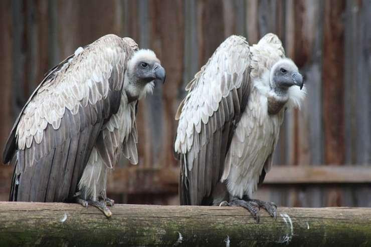 avvoltoi gay