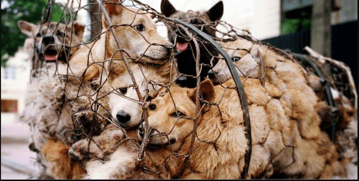 Gabbia da macello di cani