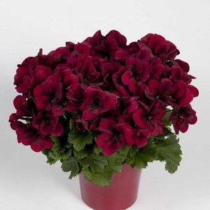 Bloemen, lente, zomerbloemen, bloembakken , geraniumm, magrieten