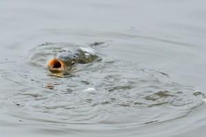 Carp in Falmer Pond feeding on bread left for ducks.