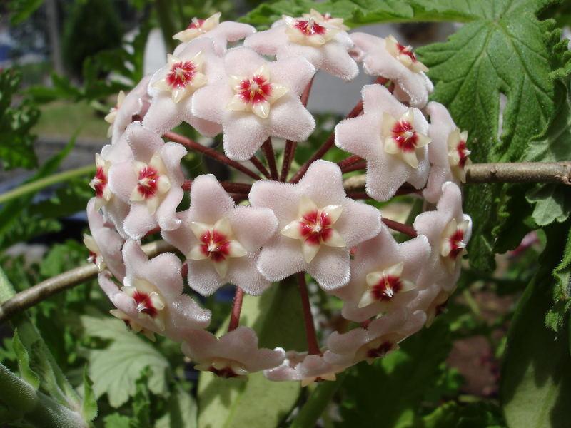 Flor de Cera ou Hoya carnosa  Famlia Asclepiadaceae