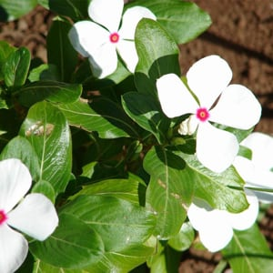 vincas-flores