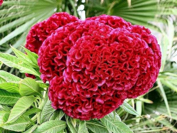 flor-crista-de-galo