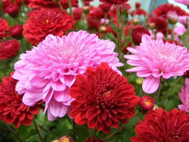 crisantemo-foto-44