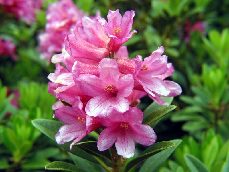 Rododendros - Família das ericáceas