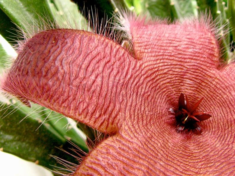 Cacto-Estrela - Família Apocynaceae