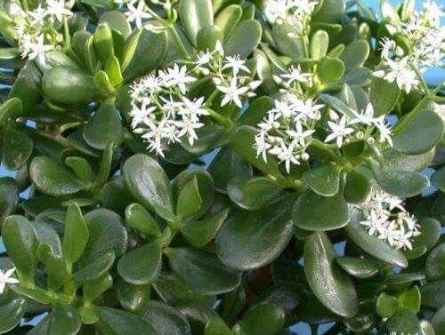 Planta-jade – Crassula ovata