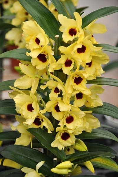 Orquídea Olho de Boneca - Dendrobium nobile