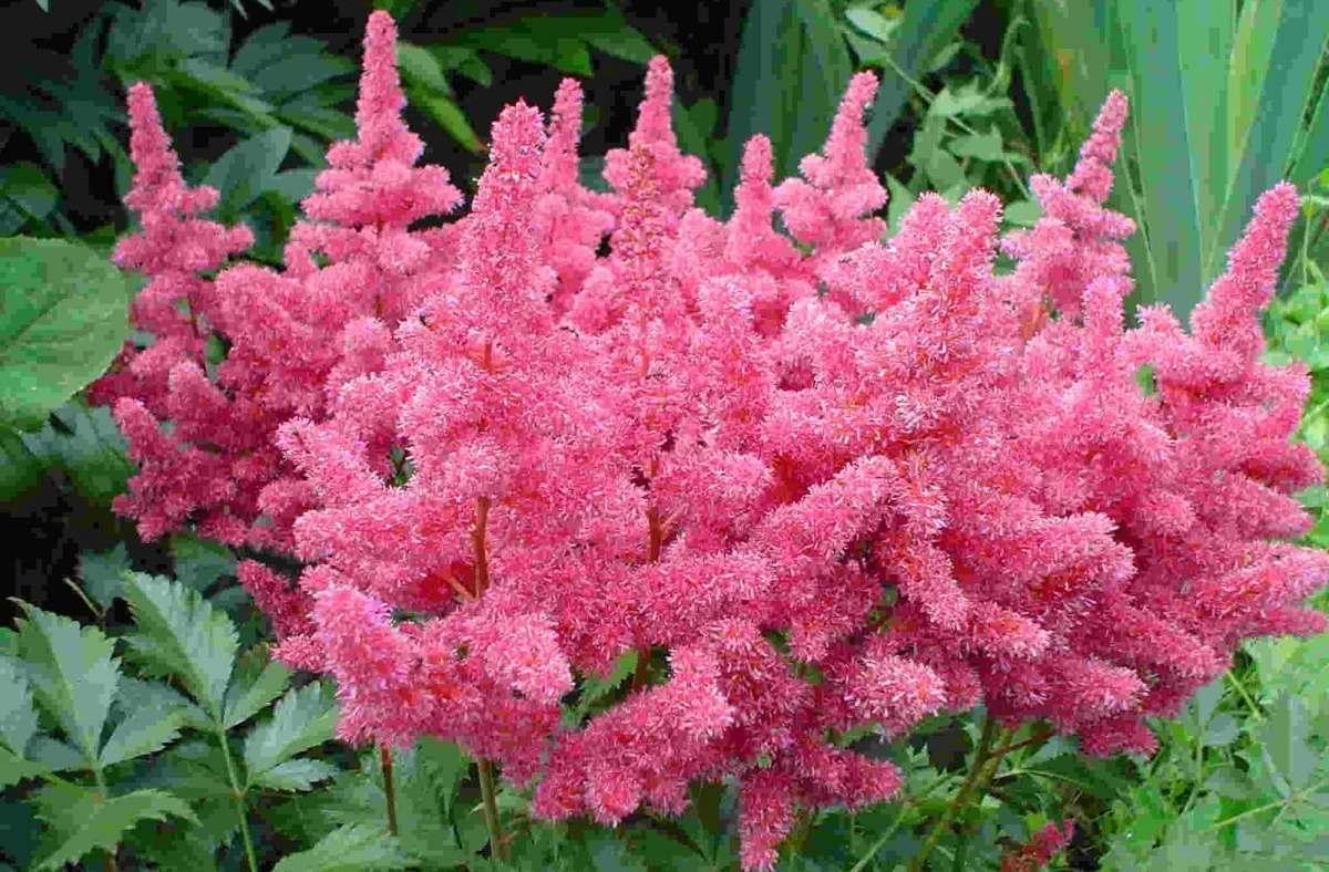 Astilbe - Família Saxifragaceae