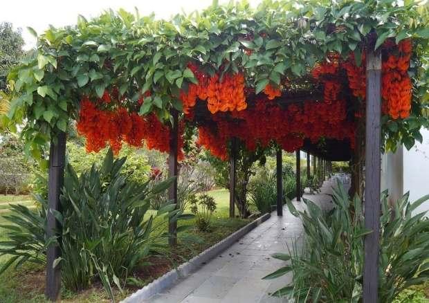 Jade-vermelha – Mucuna bennettii