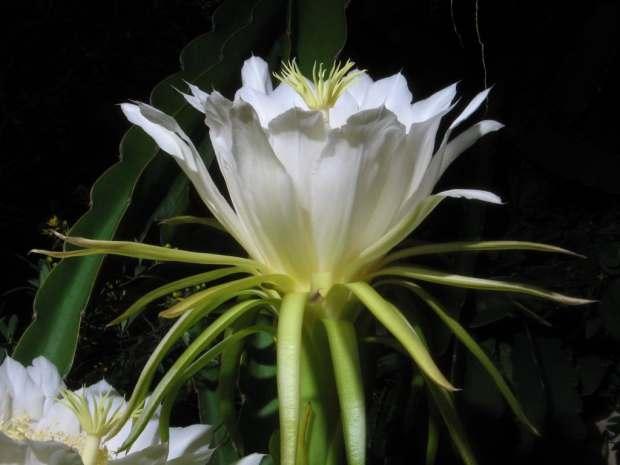 Hylocereus undatus - Rainha-da-noite