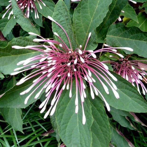 cotonete-flor-67