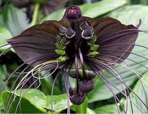 Flor morcego - Flores Negras